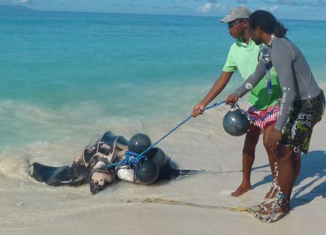 Des rangers sauvent une tortue luth empêtrée dans un piège sur l'île d'Aride aux Seychelles