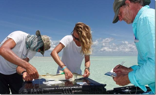 Une étude tente de comprendre pourquoi 2 espèces de requins se partagent un lagon des Seychelles au lieu de se battre