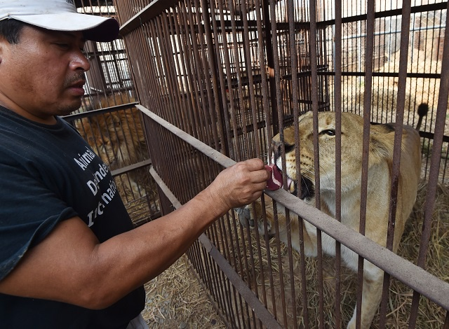 Planeload of 33 rescued lions to fly from Peru to South Africa