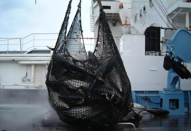 La commission de Thon de L'Océan Indien va proposer de réduire de 20 % la pêche du thon jaune
