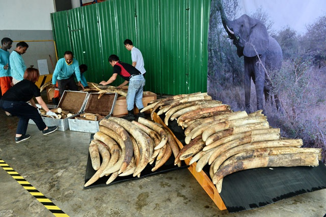 Singapore destroys tonnes of illegal ivory