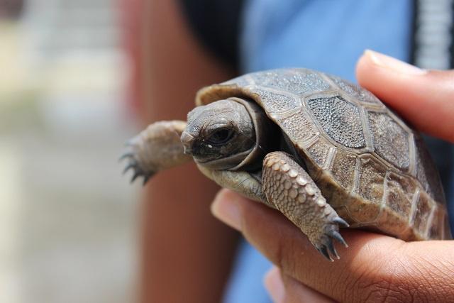 Consternation de l'Autorité du Parc national des Seychelles suite au vol de bébés tortues géantes