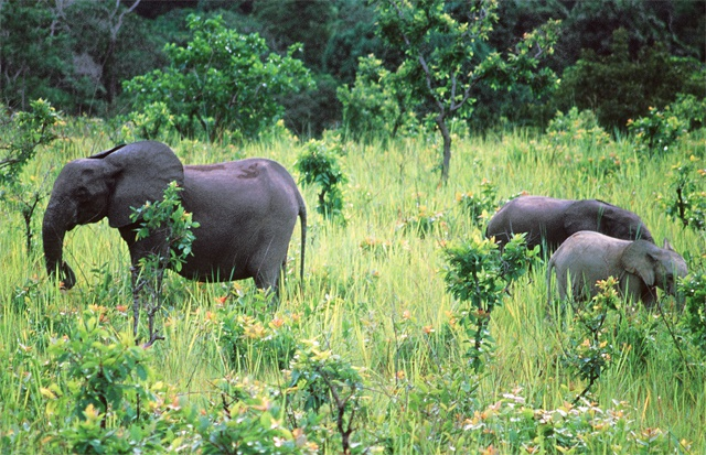 Africa forest elephants may take almost a century to recover from poaching