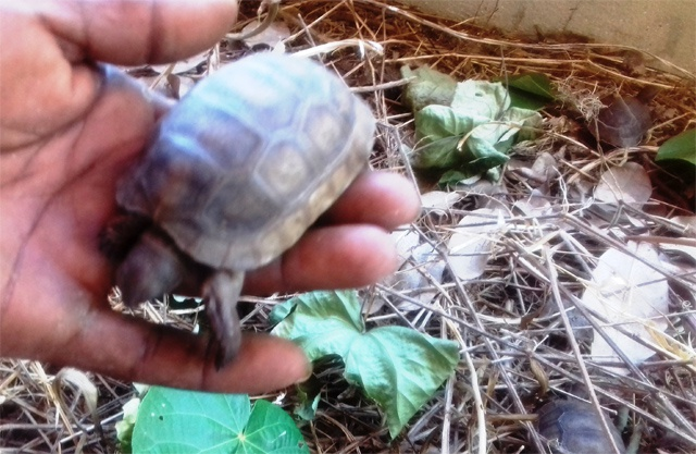 4 baby giant tortoises bring new conservation hope for Seychelles' Curieuse Island