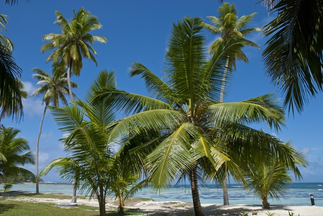 From roots to leaves, medicinal uses for 7 parts, products of Seychelles' coconut trees
