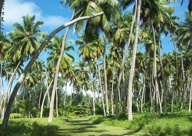 9 parties du cocotier utilisées aux Seychelles