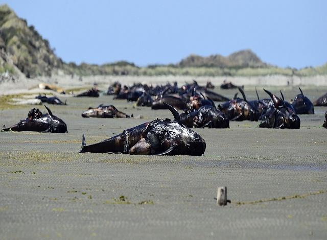 Hundreds of whales wash up dead on New Zealand beach