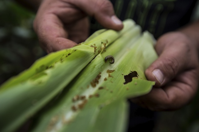 On a South African farm, despair over armyworm attack