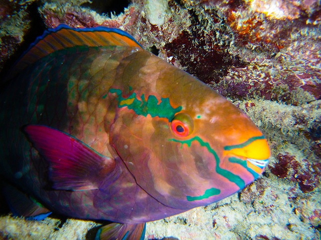 Eat less parrotfish, save Seychelles' coral reefs? Marine survey indicates a link