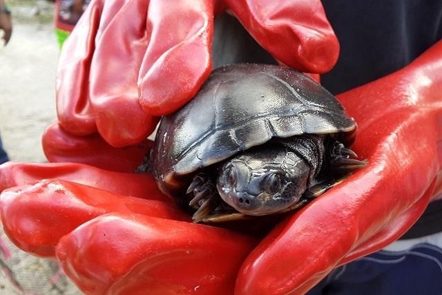 L'île de Frégate commence à compter les tortues en danger dans le cadre d'un nouveau recensement