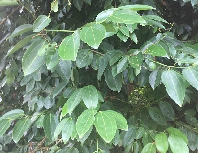 Un entrepreneur seychellois relance l'industrie des plantations pour exporter des produits à base de cannelle,et de noix de coco