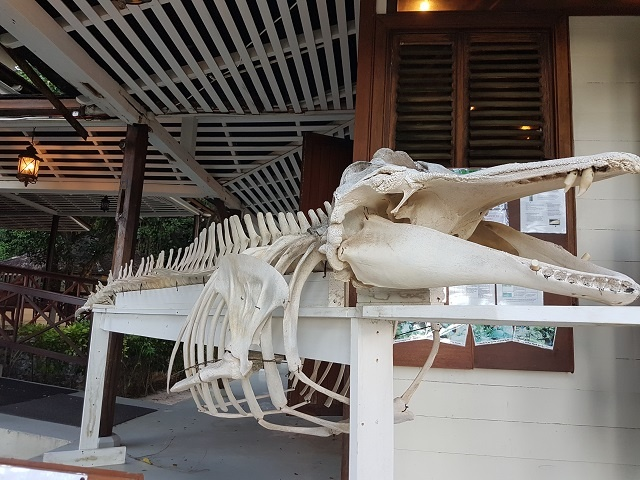 Pilot whale skeleton on display on Seychelles' Silhouette Island