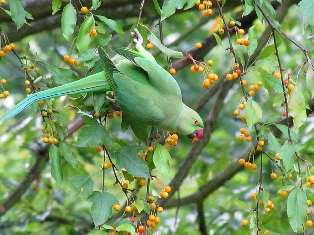 Death of last known ring-necked parakeet a big win in Seychelles' invasive species fight