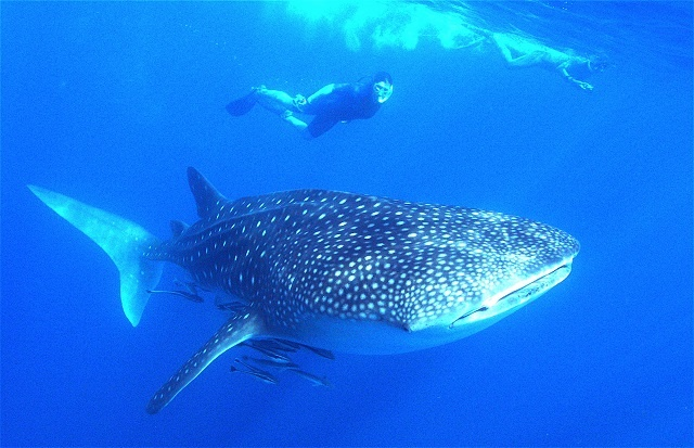 Whale sharks - world's largest fish - come to Seychelles early this year