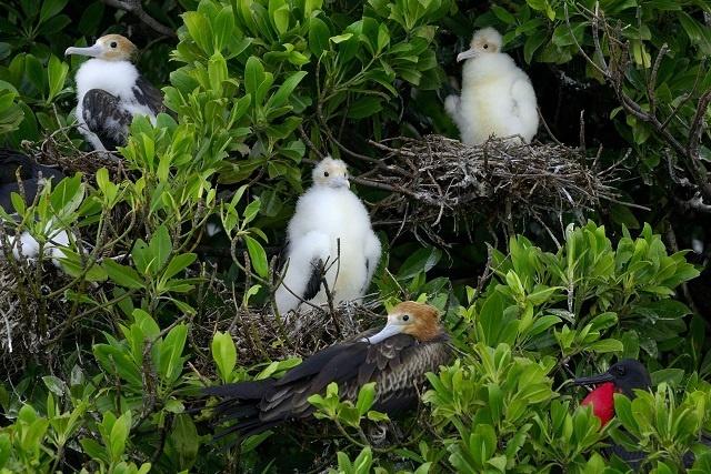 Une étude d'une durée de 2 ans sur les frégates sera dirigée par la Seychelles Islands Foundation.