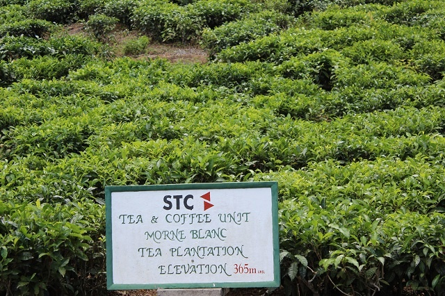 Tea trails, tour of factory in Seychelles give tea lovers new insight into popular drink