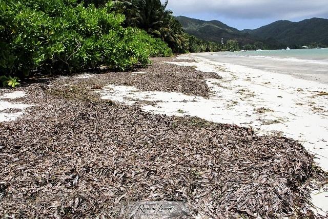 Une entreprise innovante aux Seychelles veut transformer les algues en fertilisant.