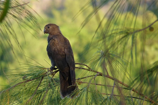 New DVD to promote the protection of the black parrot, Seychelles' national bird