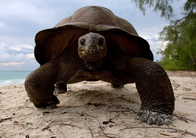 Les scientifiques introduisent de nouvelles méthodes de suivi des tortues géantes d'Aldabra, aux Seychelles.