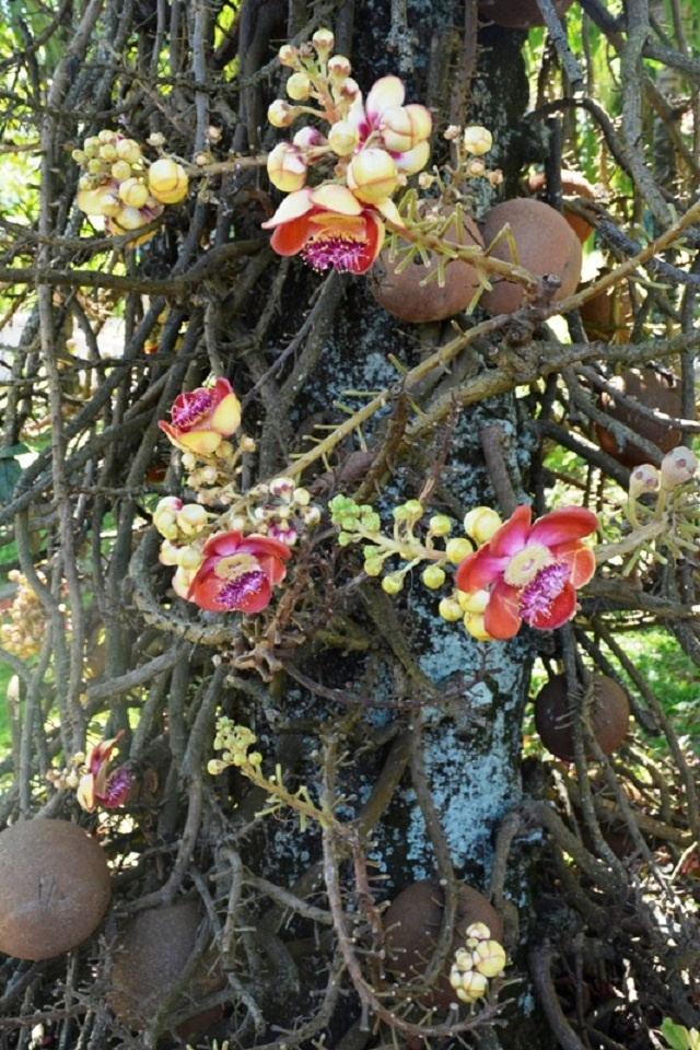Look out below! Cannonball tree attracts curious onlookers in Seychelles