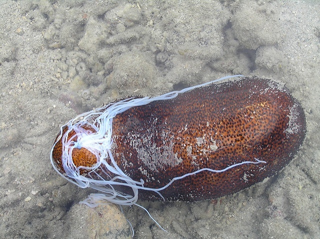 New measures will regulate sea cucumber catch in Seychelles