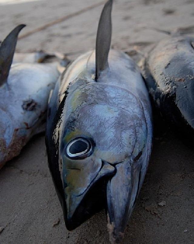 Les Seychelles mettent en place de nouvelles mesures pour surveiller le stock de thon albacore.