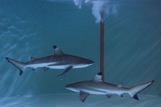 Les Samoa créent un sanctuaire pour requins