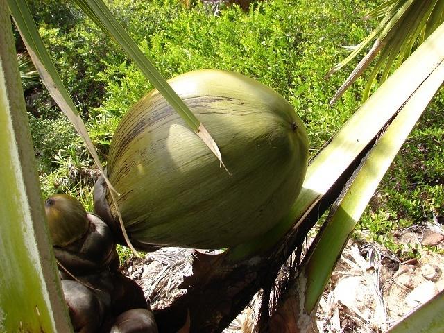Un nouveau recensement vise à aider à la survie du coco de mer endémique des Seychelles