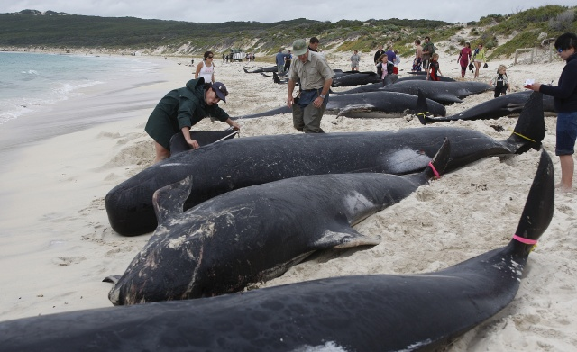 SHARK WARNING: Whales mass stranding in SHOCK pictures