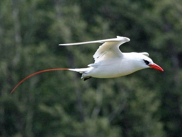 Study: Red-tailed tropicbirds on remote Seychellois island declining because of predator attacks