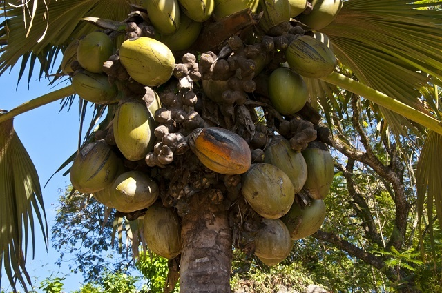 After census, Seychelles is armed with more info to amend coco de mer decree
