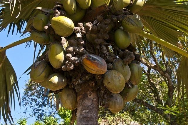 Après le recensement, les Seychelles disposent de plus d'informations pour modifier le décret sur le coco de mer