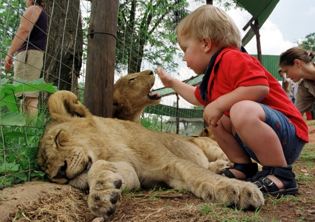 S.African lion cubs conceived artificially in world first