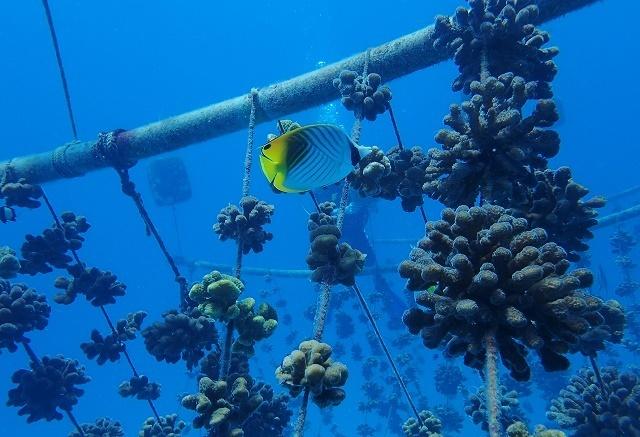 Nature Seychelles crée un kit pour la restauration des coraux avant la réunion mondiale en Floride