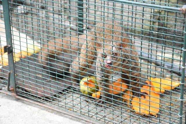 A lemur on the loose in Seychelles has been caught; officials discussing next step