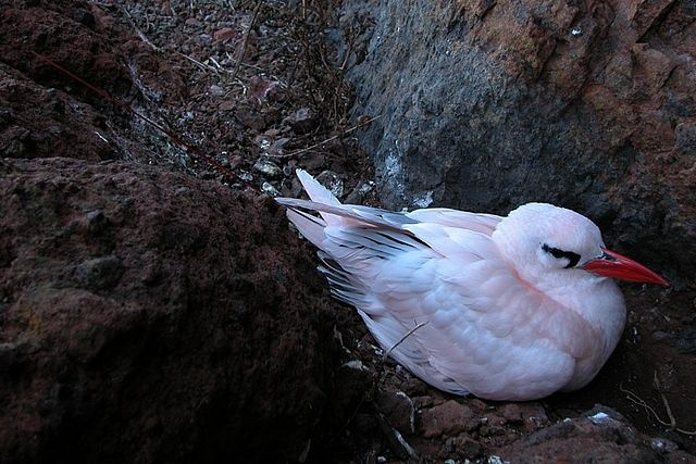 Population of tropicbirds on the decline in Seychelles, study shows