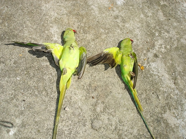 Ring-necked parakeet declared eradicated from Seychelles after 8 years of work