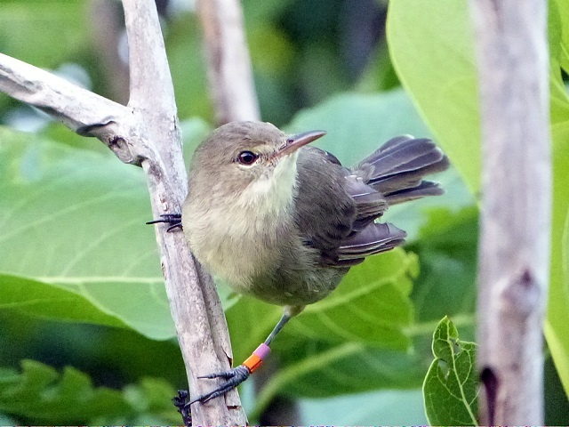 A mother bird with a helper lives longer, according to study of Seychelles warblers