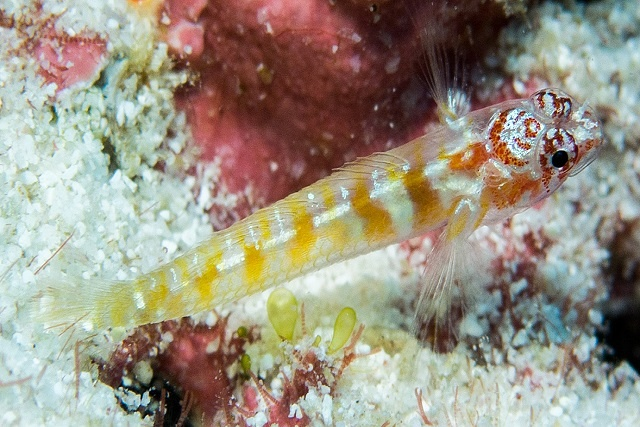 Fish discovery in Seychelles is confirmed as new species of dwarf goby group