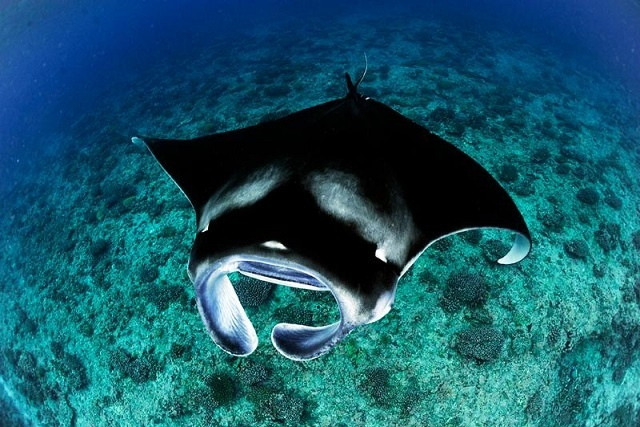 Study finds manta rays congregating around 2 Seychellois islands