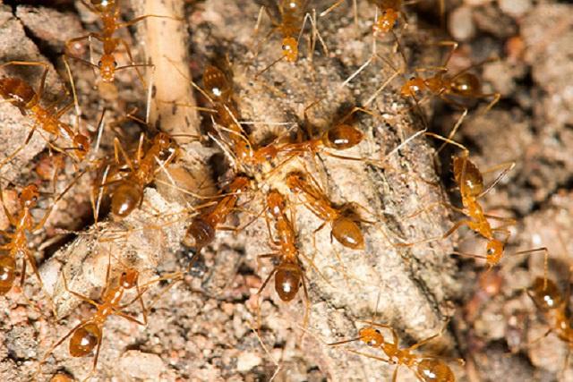 Les fourmis jaunes dans la ligne de mire pour protéger le coco de mer des Seychelles