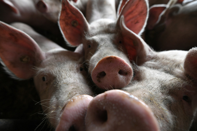 Philippines confirms first swine fever cases