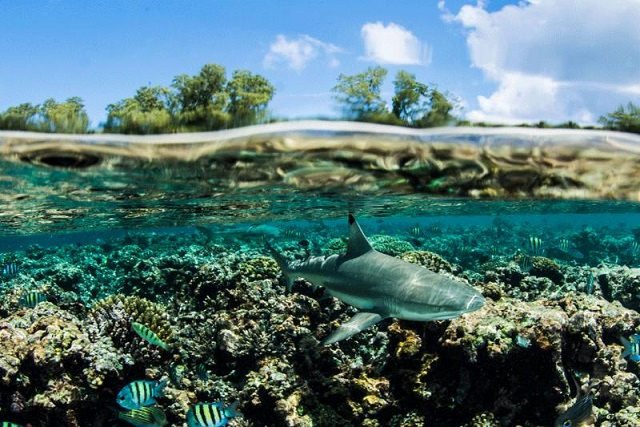 Save Our Seas study finds that Seychelles' St. Joseph is healthy place for blacktip reef sharks
