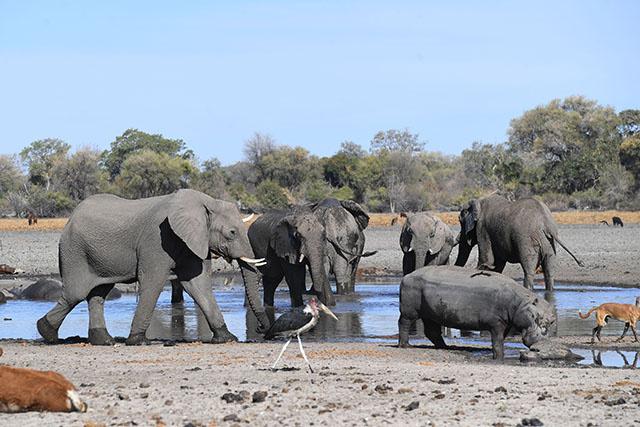 Le Botswana lance des enchères pour les permis de chasse à l'éléphant