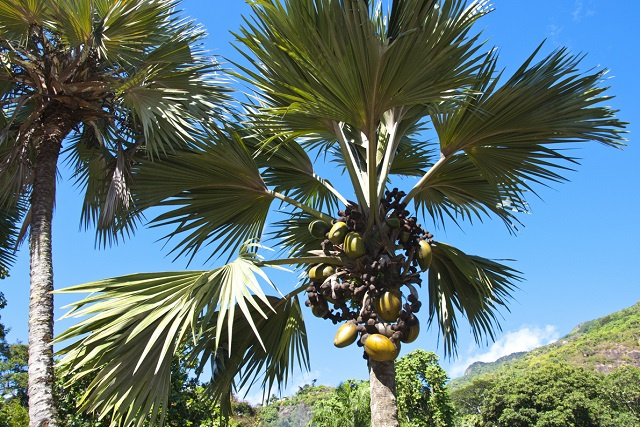 A walk-in Victoria reveals 4 rare plants to discover in Seychelles