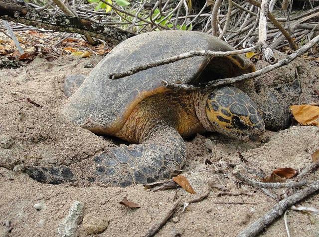La population de tortues de mer est stable aux Seychelles malgré les incidents de braconnage en cours