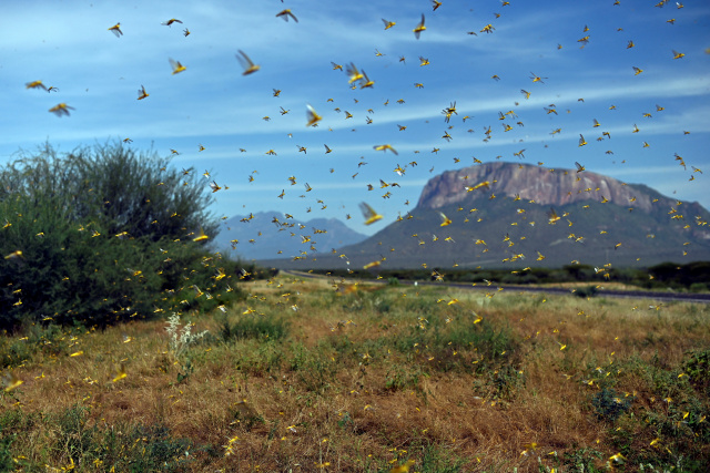 In midst of pandemic, E. Africa braces for another locust invasion