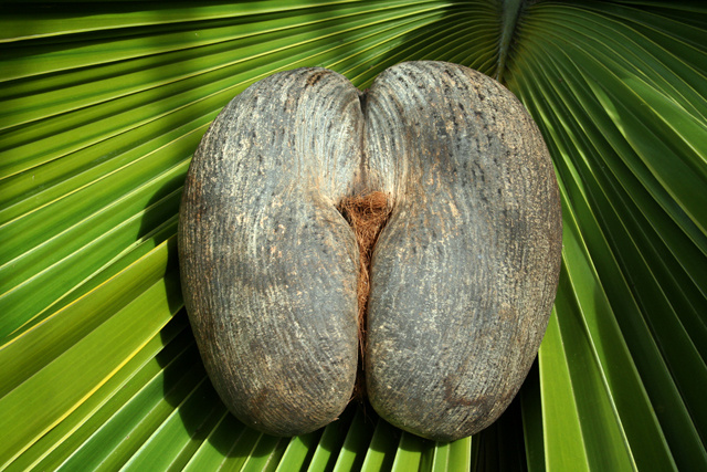 Shade, large seed-dispersing animals key to large size of Seychelles' coco-de-mer: study