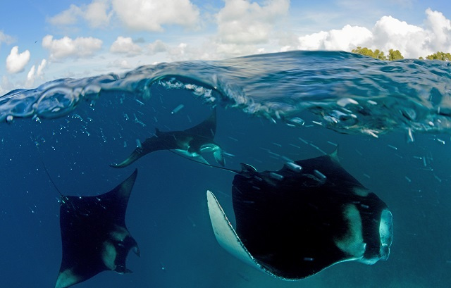 Reef manta ray are homebodies, study finds, cementing Seychelles' conservation value