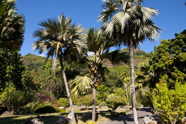 Coco de mer palm in the front yard? Property owners in Seychelles can now plant one